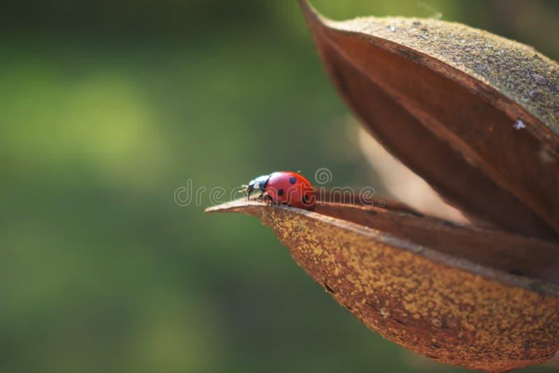 Ladybug που εμφανίζεται έξω κοντά στοκ εικόνες με δικαίωμα ελεύθερης χρήσης