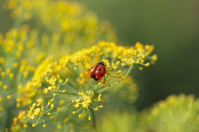 Ladybug που ξεραίνει τα φτερά του στοκ εικόνες