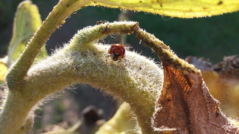 Ladybug σε έναν ηλίανθο στοκ εικόνες