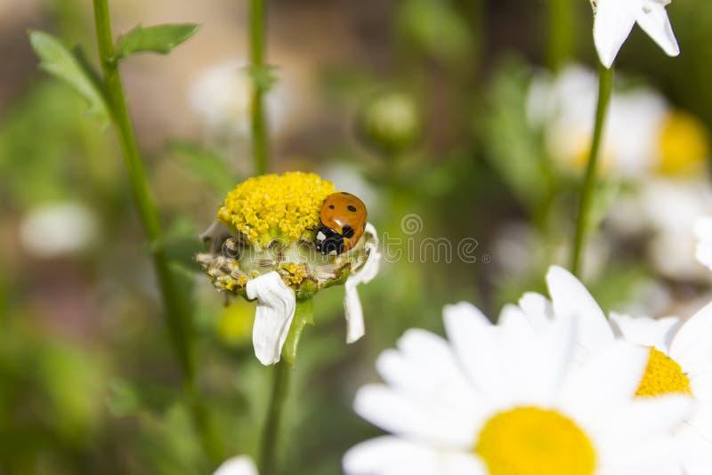 Ladybug σε έναν οφθαλμό μαργαριτών στοκ φωτογραφίες με δικαίωμα ελεύθερης χρήσης