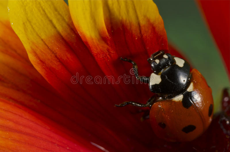 Ladybug σε ένα κίτρινο και κόκκινο λουλούδι στοκ εικόνα με δικαίωμα ελεύθερης χρήσης