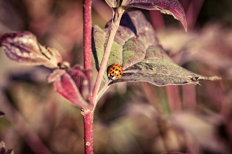 Ladybug σε ένα φύλλο το φθινόπωρο στοκ εικόνα με δικαίωμα ελεύθερης χρήσης