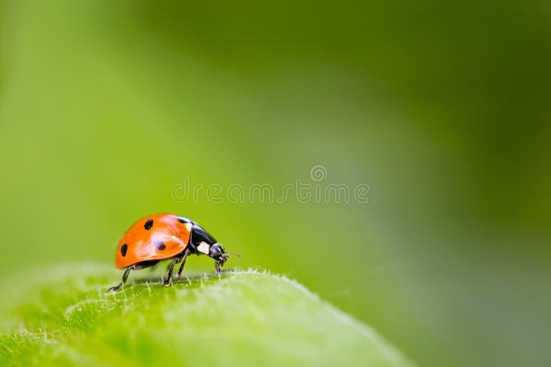 Ladybug σε ένα φύλλο στοκ εικόνα