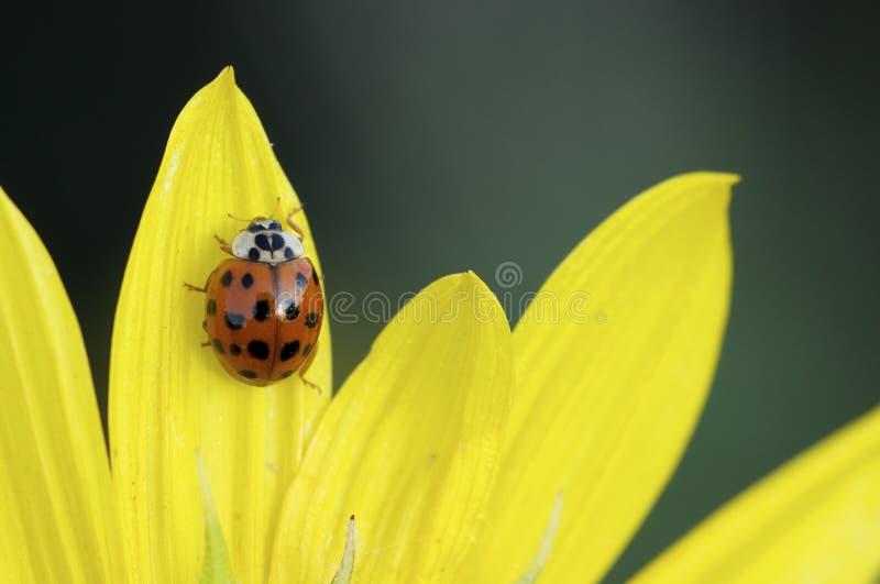 Ladybug σε κίτρινο στοκ εικόνες