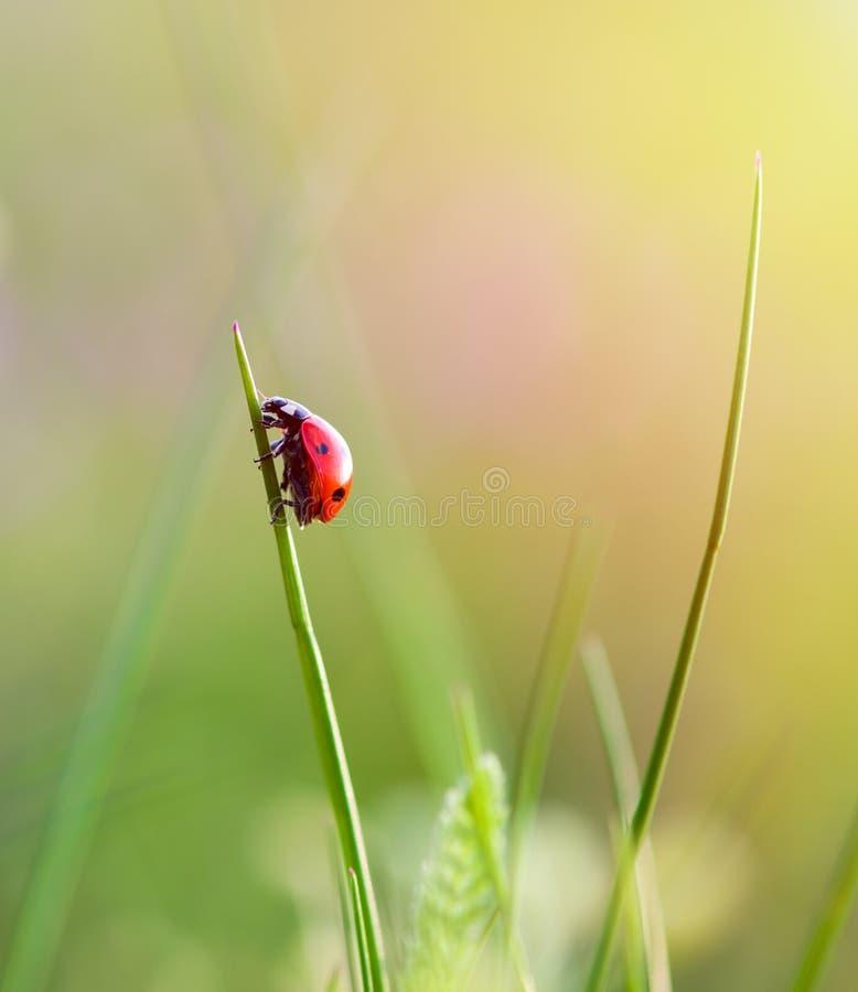 Ladybug στη χλόη που απομονώνεται πέρα από πράσινο στοκ εικόνα