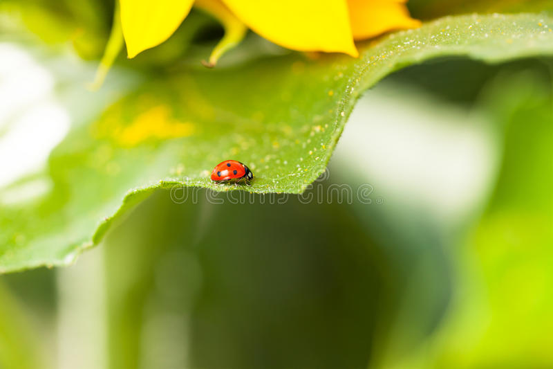 Ladybug στον ηλίανθο στοκ φωτογραφία με δικαίωμα ελεύθερης χρήσης