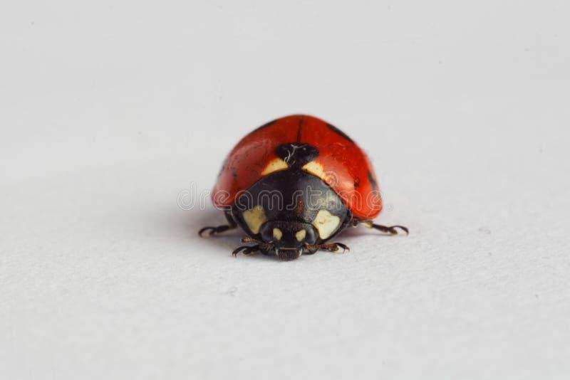 Ladybug στο λευκό στοκ φωτογραφία