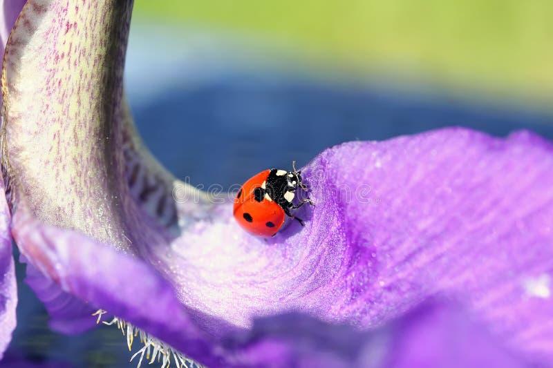 Ladybug στο πέταλο λουλουδιών στοκ φωτογραφία με δικαίωμα ελεύθερης χρήσης