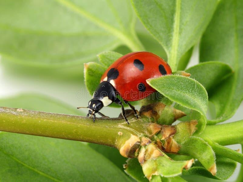 Ladybug στο πράσινο φύλλο στοκ φωτογραφίες