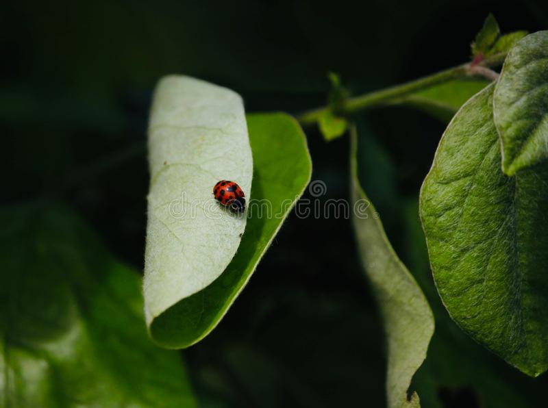 Ladybug στο πράσινο φύλλο στοκ φωτογραφία με δικαίωμα ελεύθερης χρήσης
