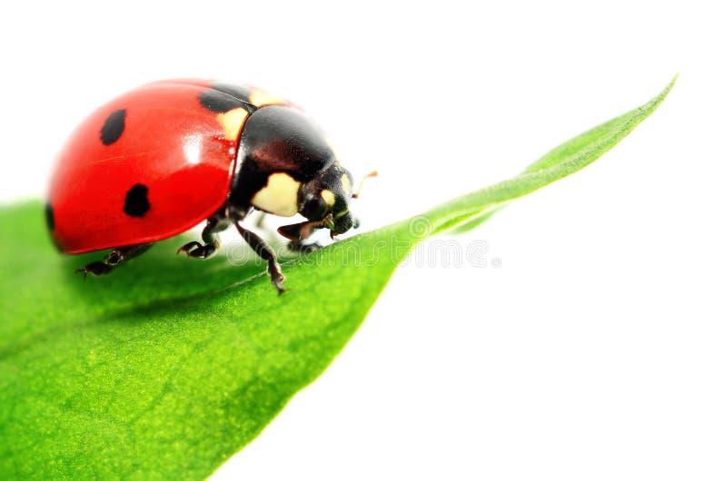 Ladybug στο πράσινο φύλλο που απομονώνεται στο λευκό στοκ φωτογραφία με δικαίωμα ελεύθερης χρήσης