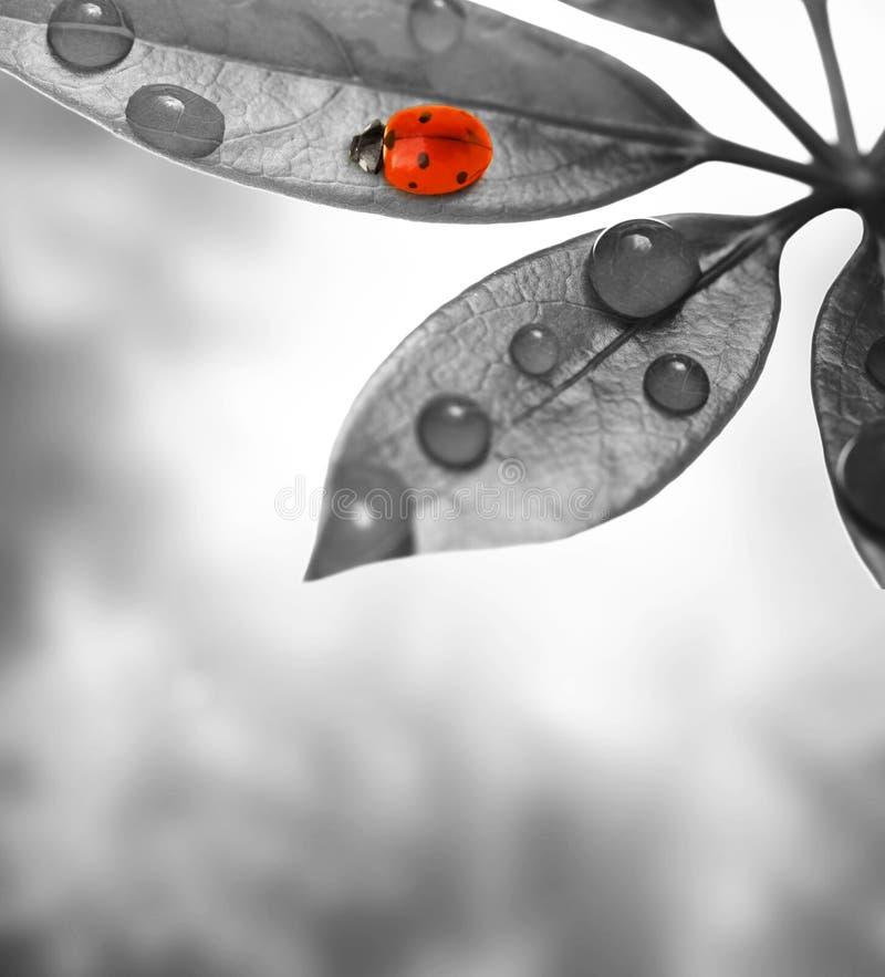 ladybug συνεδρίαση φύλλων στοκ φωτογραφίες