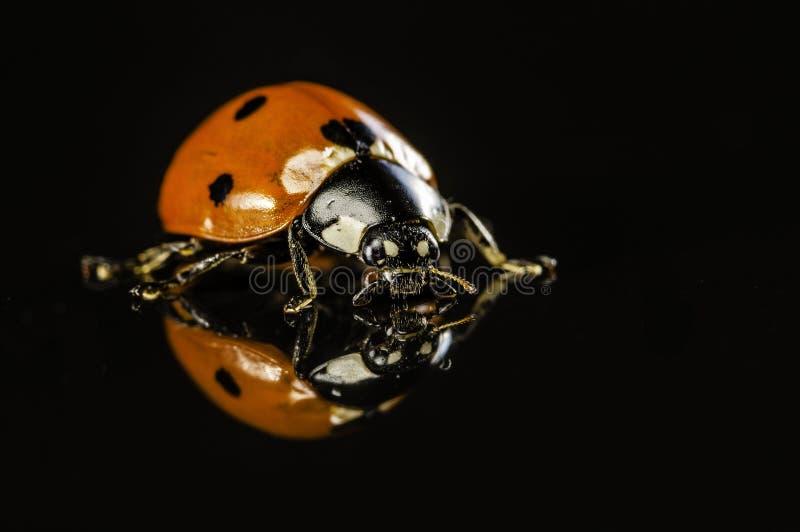 Ladybug την αντανάκλαση που απομονώνεται με στο Μαύρο στοκ εικόνα με δικαίωμα ελεύθερης χρήσης