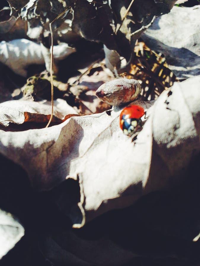 Ladybug του Οκτωβρίου στοκ φωτογραφίες με δικαίωμα ελεύθερης χρήσης