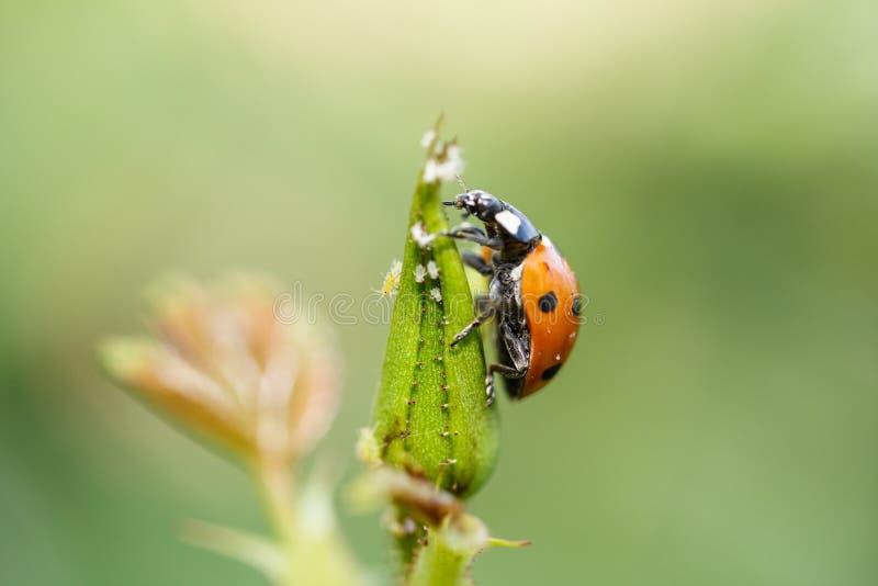 Ladybug взбираясь вверх завод стоковая фотография rf