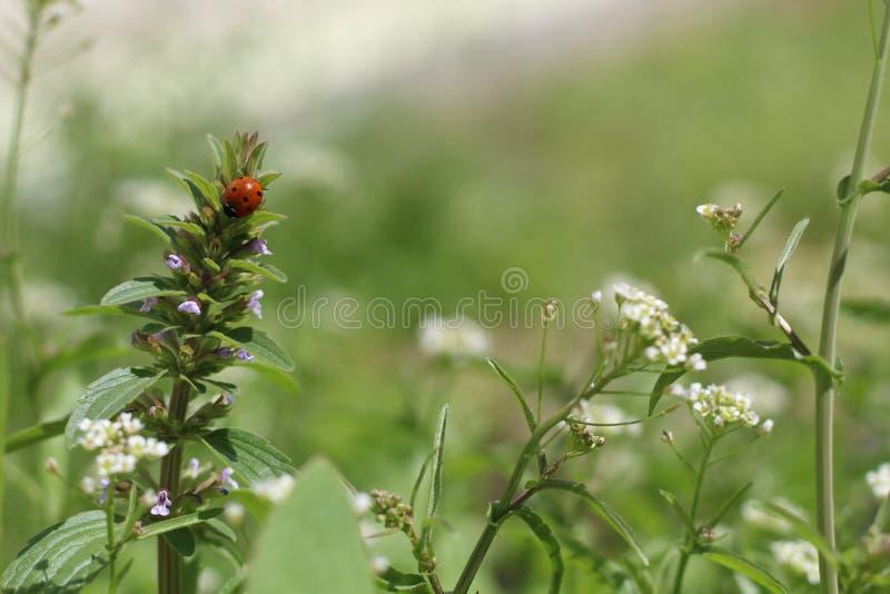 Ladybug взбираясь на верхнюю часть цветка стоковое фото rf