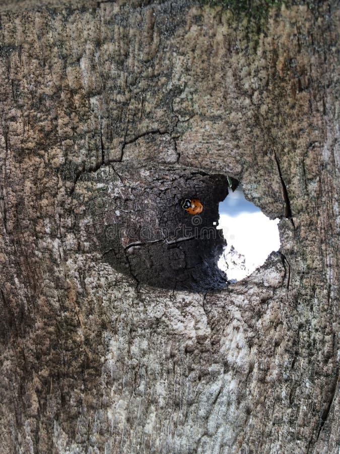 Ladybug в knothole стоковая фотография