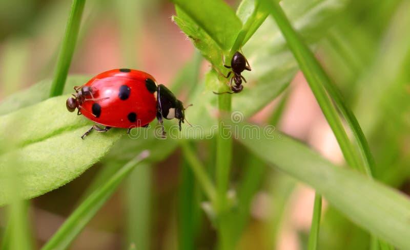 Ladybug и муравьи на зеленом лезвии стоковое фото