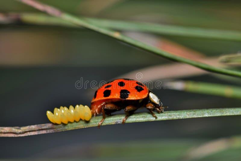 Ladybug кладя яичка на иглу сосны стоковая фотография rf