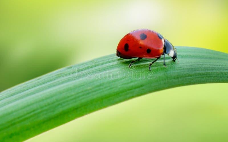 Ladybug макроса на лезвии зеленой травы стоковое изображение rf