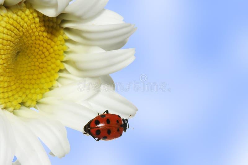 ladybug маргаритки стоковая фотография