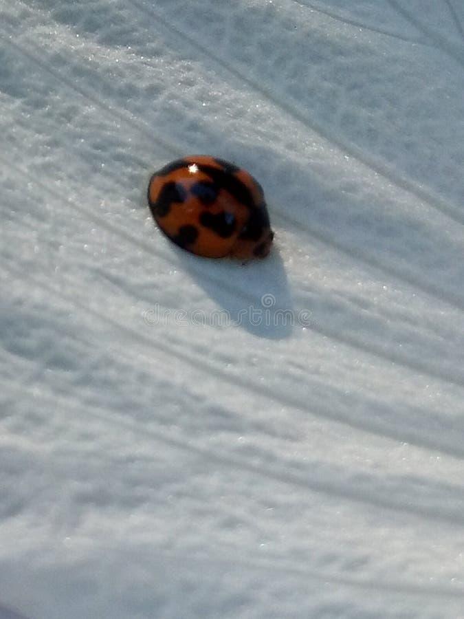 Ladybug на белом лепестке стоковые изображения