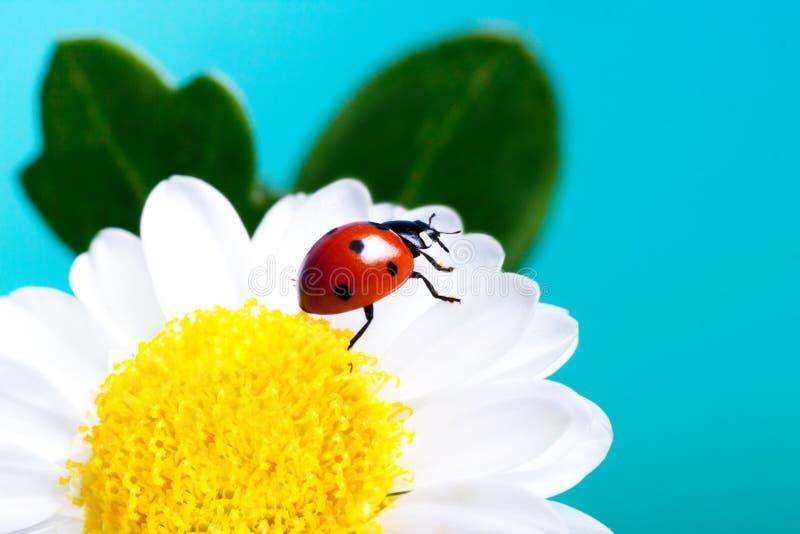 Ladybug на белых цветках. стоковая фотография
