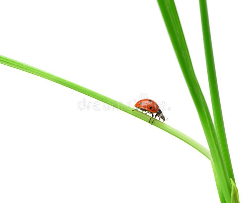 Ladybug на зеленом лезвии травы стоковые изображения rf