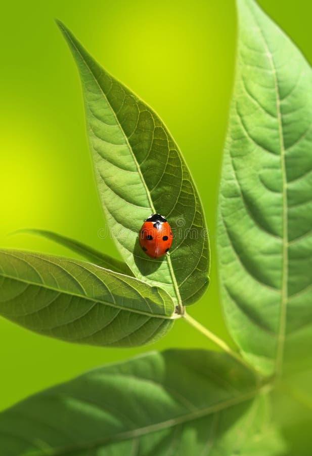 Ladybug на зеленых листьях стоковое фото
