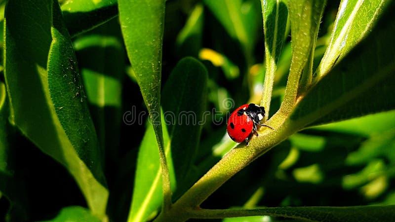 Ladybug на зеленых лист в солнечном дне стоковое изображение