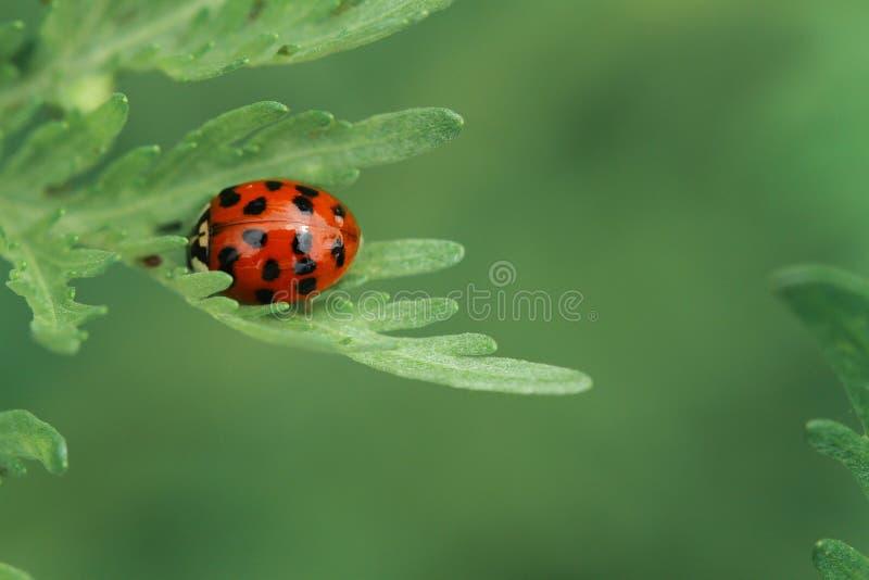 Ladybug на зеленых лист стоковая фотография rf