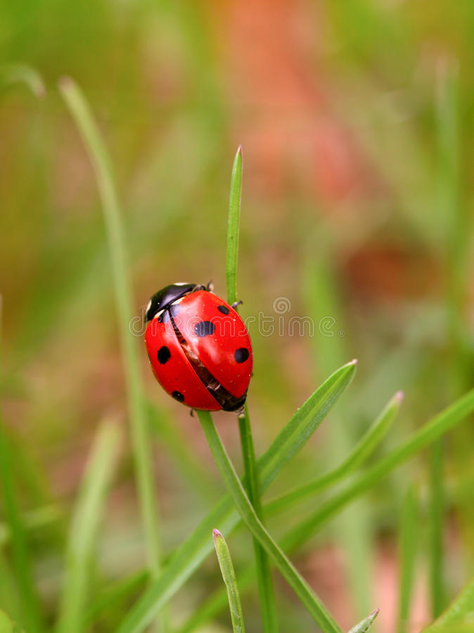 Ladybug на зеленом лезвии стоковые фото