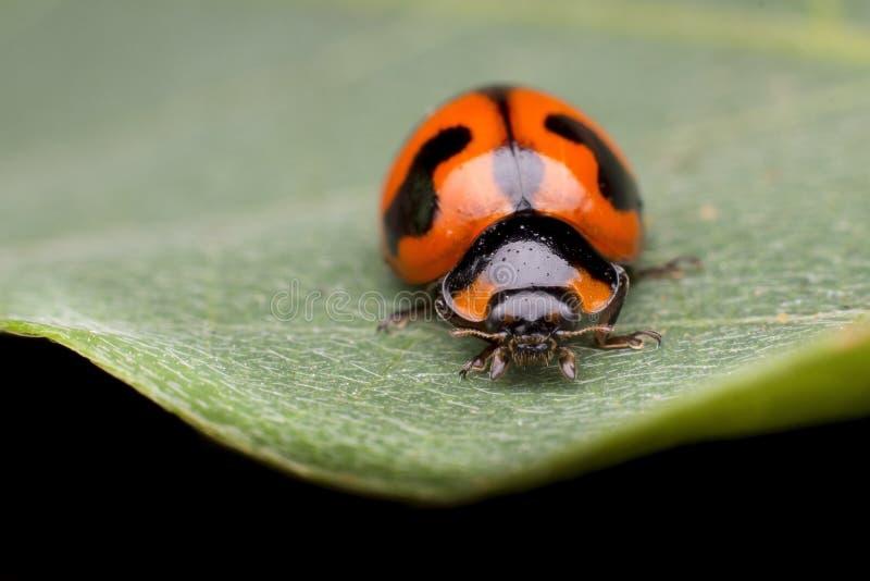 ladybug на зеленых лист стоковое изображение rf