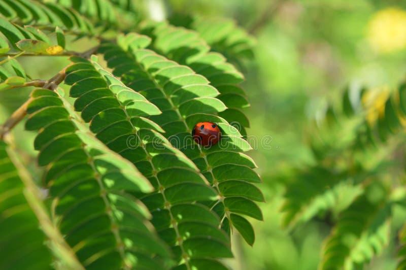 Ladybug на листьях стоковые фотографии rf