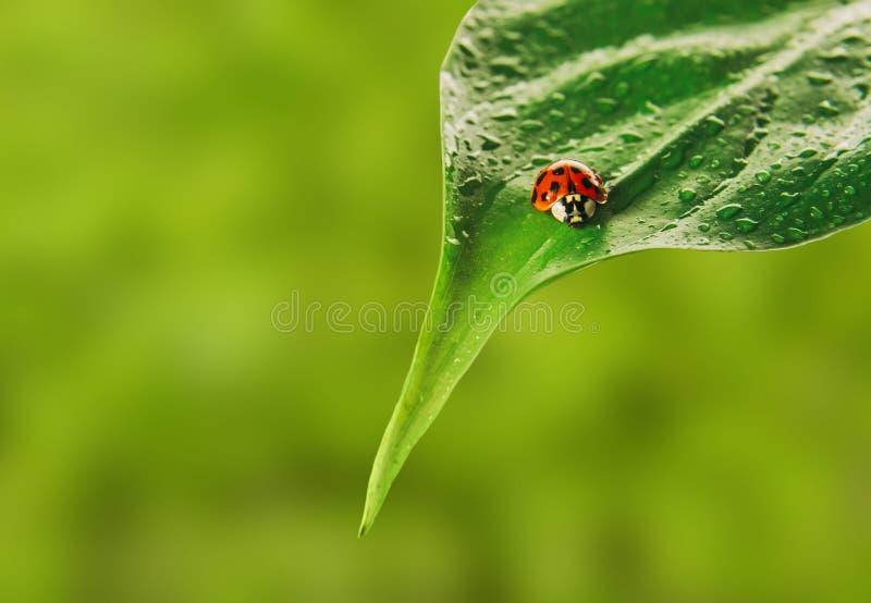 Ladybug на лист стоковая фотография rf