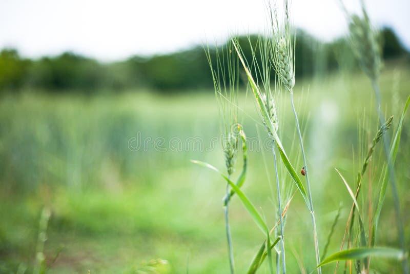 Ladybug на кукурузном початке в зеленом поле стоковые фото