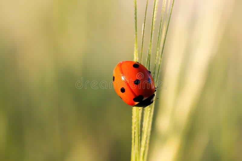 Ladybug на лезвии зеленой травы стоковые фото