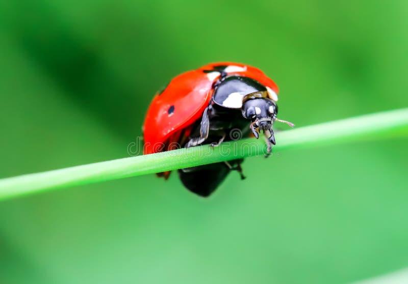 Ladybug на лист, крупный план стоковое фото rf