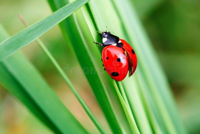 Ladybug на лист, крупный план стоковые изображения rf