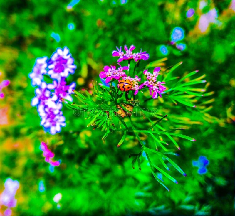 Ladybug на розовом цветке стоковые изображения