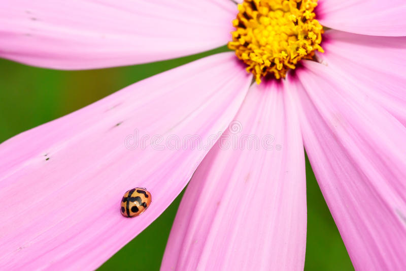 Ladybug на розовом цветке стоковое фото