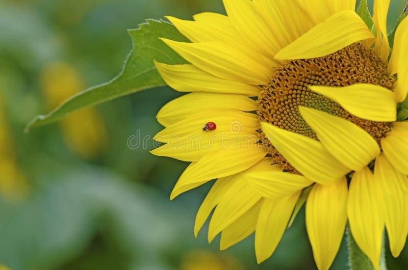 Ladybug на солнцецвете стоковое фото rf
