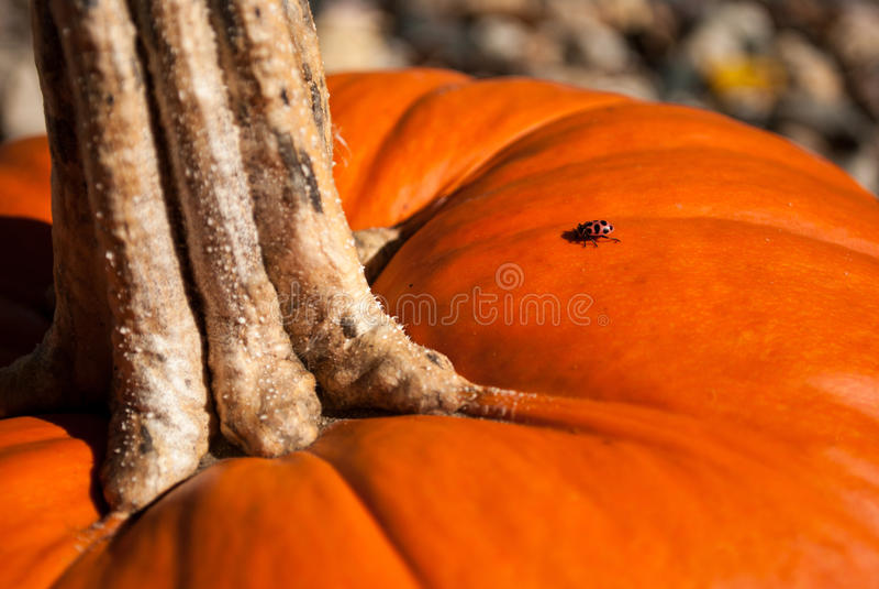 Ladybug на тыкве стоковое изображение