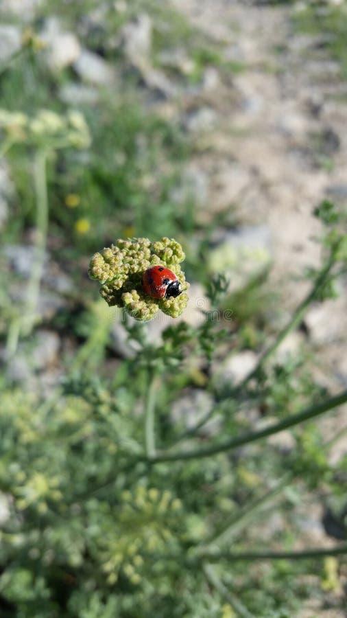 ladybug на цветках горы стоковое изображение rf