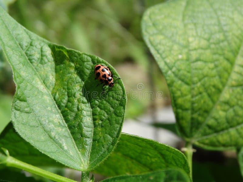Ladybug на leaaf завода фасоли стоковая фотография
