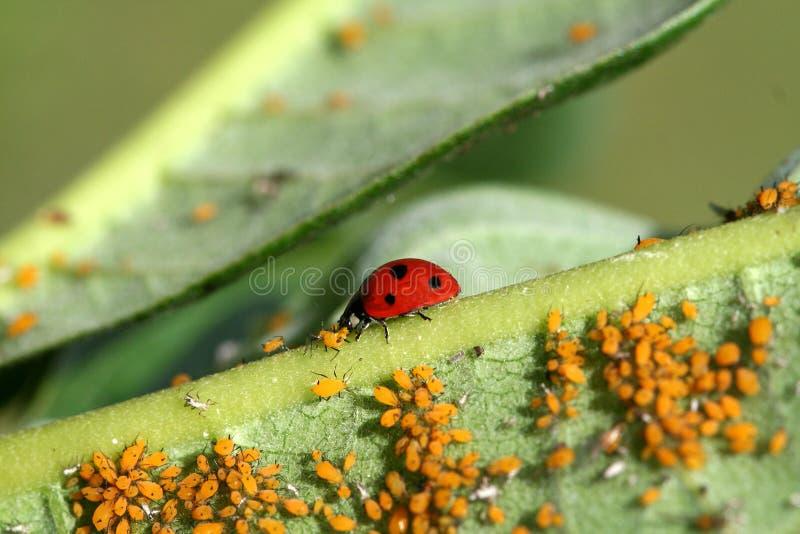 ladybug пиршества стоковая фотография rf