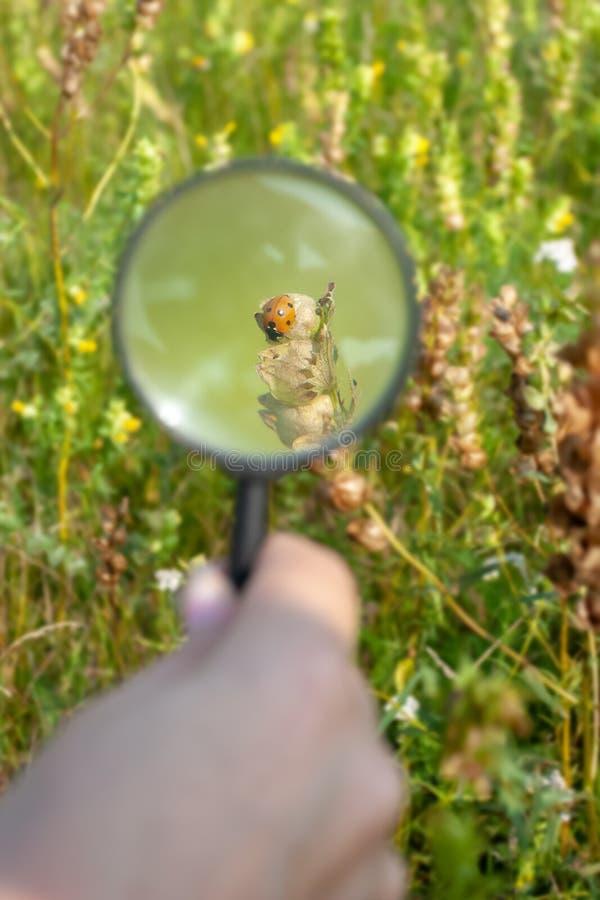Ladybug под лупой на заводе в поле стоковое изображение