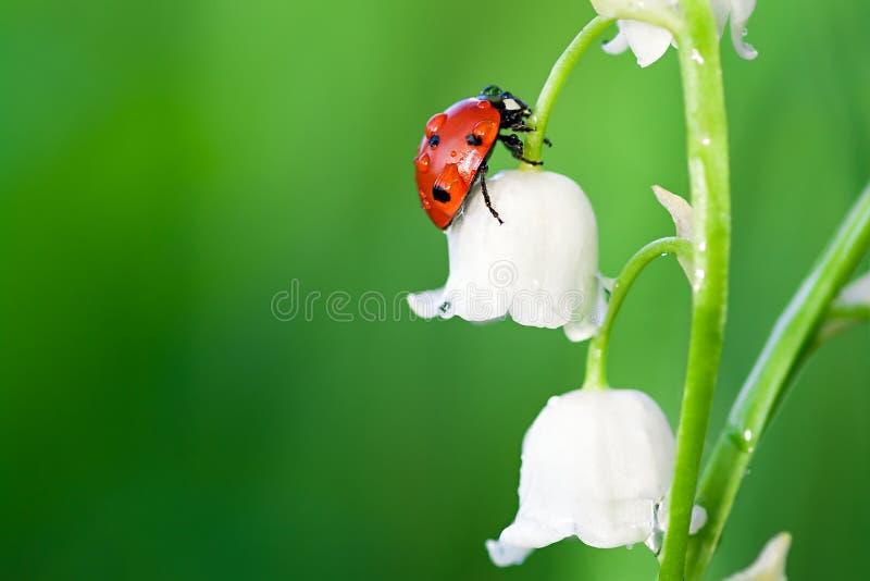 Ladybug сидит на цветке ландыша стоковые фото