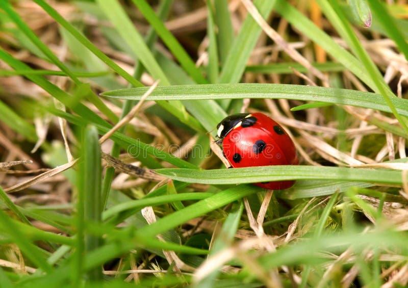 Ladybug среди зеленой травы стоковое фото rf