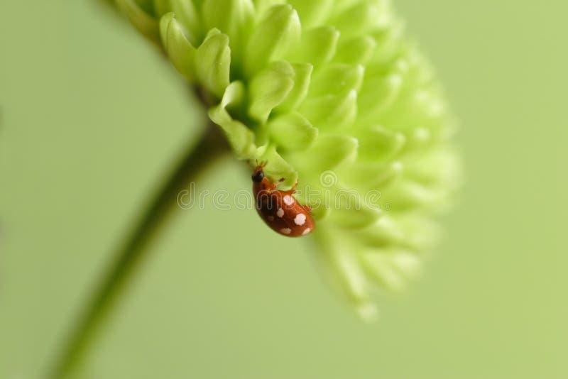 ladybug хризантемы стоковое фото